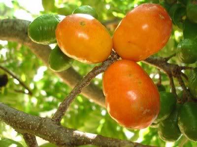 Ciriguela ou Siriguela (Spondias purpurae L)