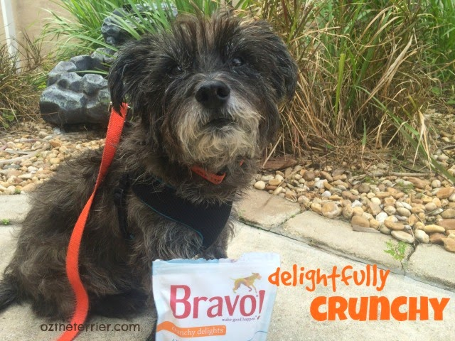 Oz the Terrier enjoys Crunchy Delights dog treats by Bravo Pet Foods