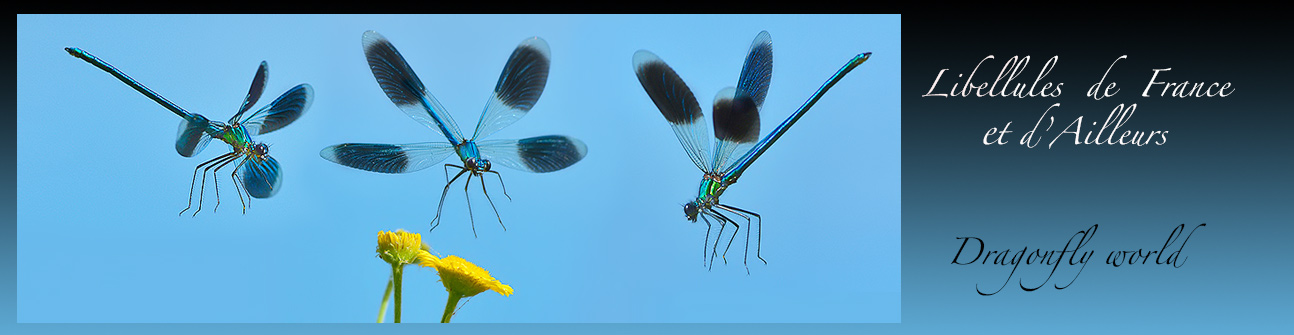 Libellules de France et dAilleurs - DRAGONFLY WORLD