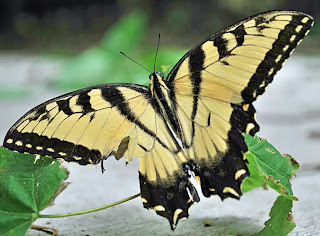 An Eastern Tiger Swallowtail avoids a run-in with a cat