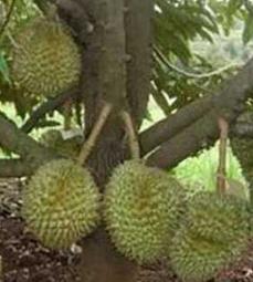 """Buah """"Durian"""""""