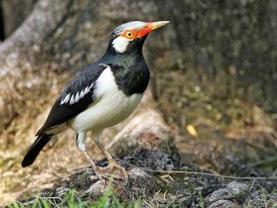 Foto Burung Jalak Suren Terbaik