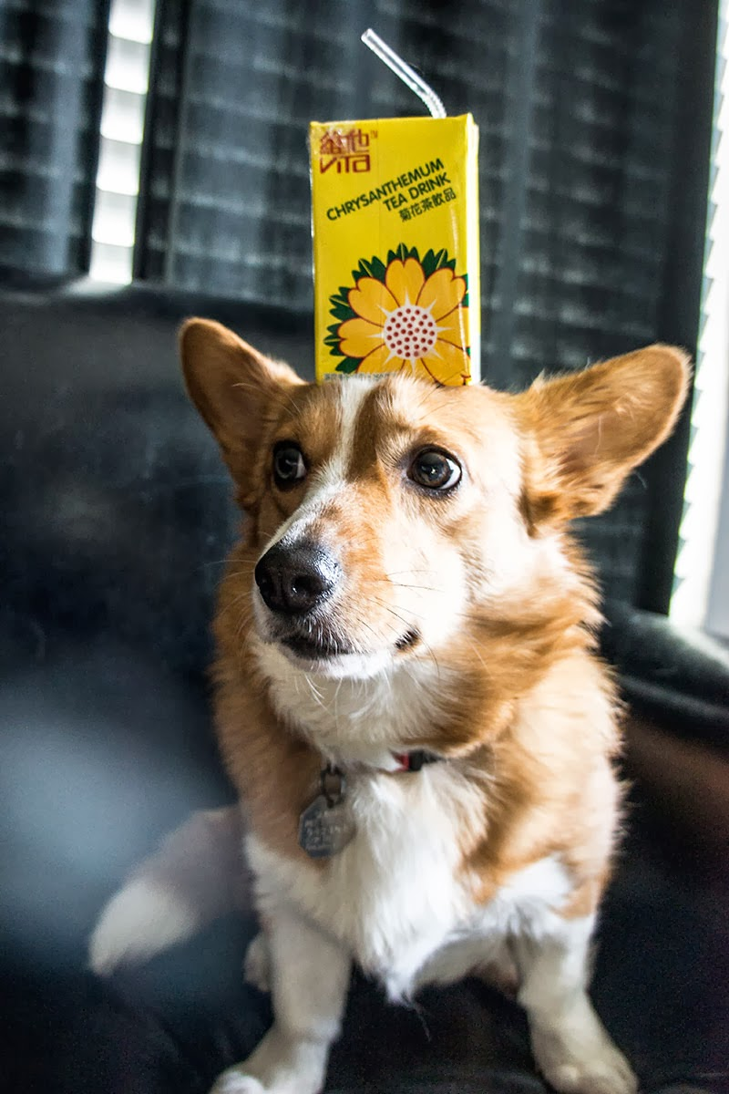 Umi the corgi holding a chrysanthemum tea