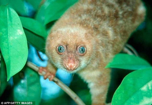 Cuscus mata biru bertompok - Spilocuscus Wilsoni