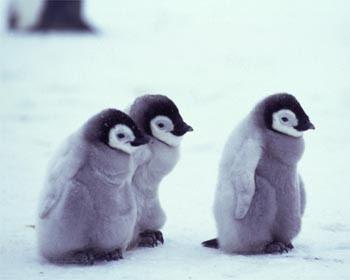 Cute penguin - photo#16