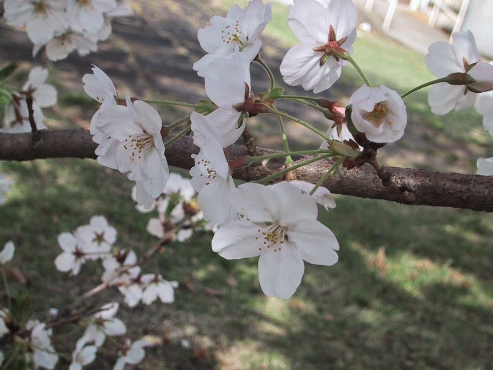 glass powder bullseye sgraffito fused frit painting flower flowers sakura cherry blossom art flutterbybutterfly flutterbyfoto