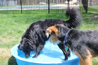 Lilah puts her noses in the pool while Tucker looks on.