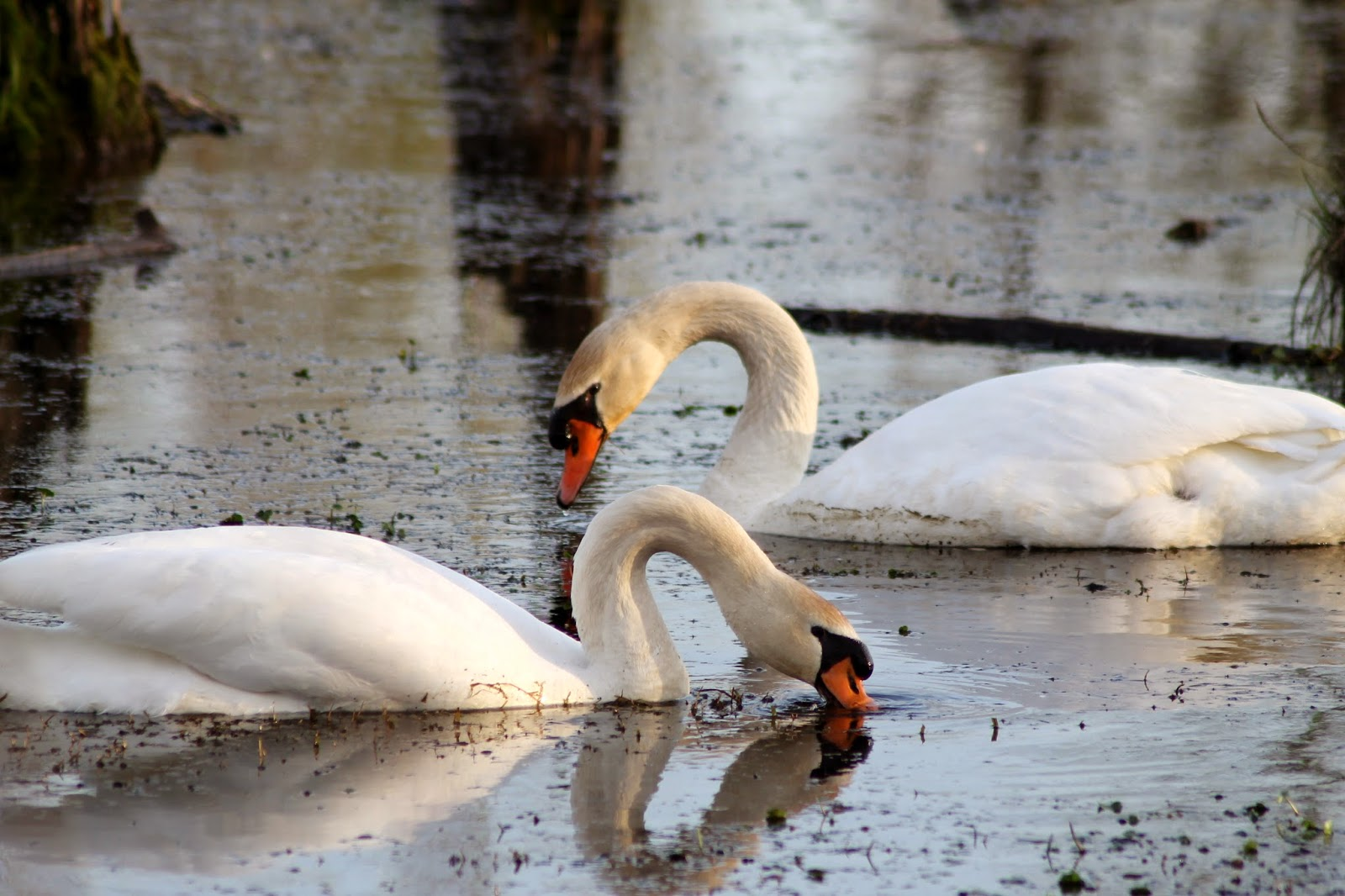 Trumpeter Swans in Heron County Park, Danville, IL