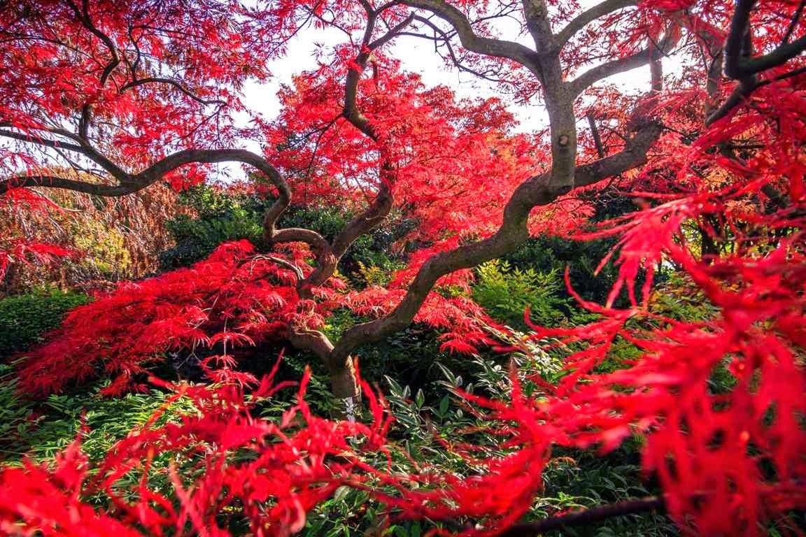 Arte y jardiner a arboles para jardines peque os - Arce arbol variedades ...