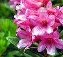 Rododendro - Azaleia
