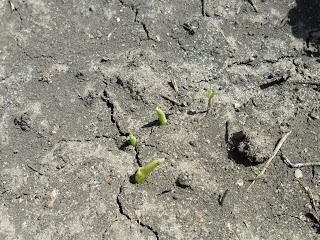 Всходы кукурузы
