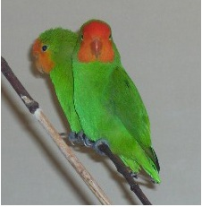 Red-faced Lovebird (Agapornis pullarius)