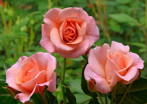 Aprikola rose сорт розы фото