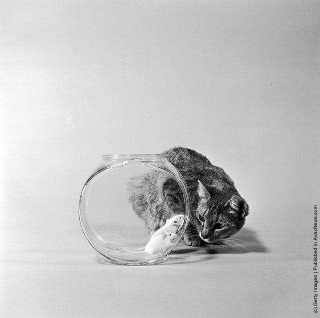 Кошка наблюдает за двумя мышами находящихся в аквариуме. (Приблизительно 1950 г.)