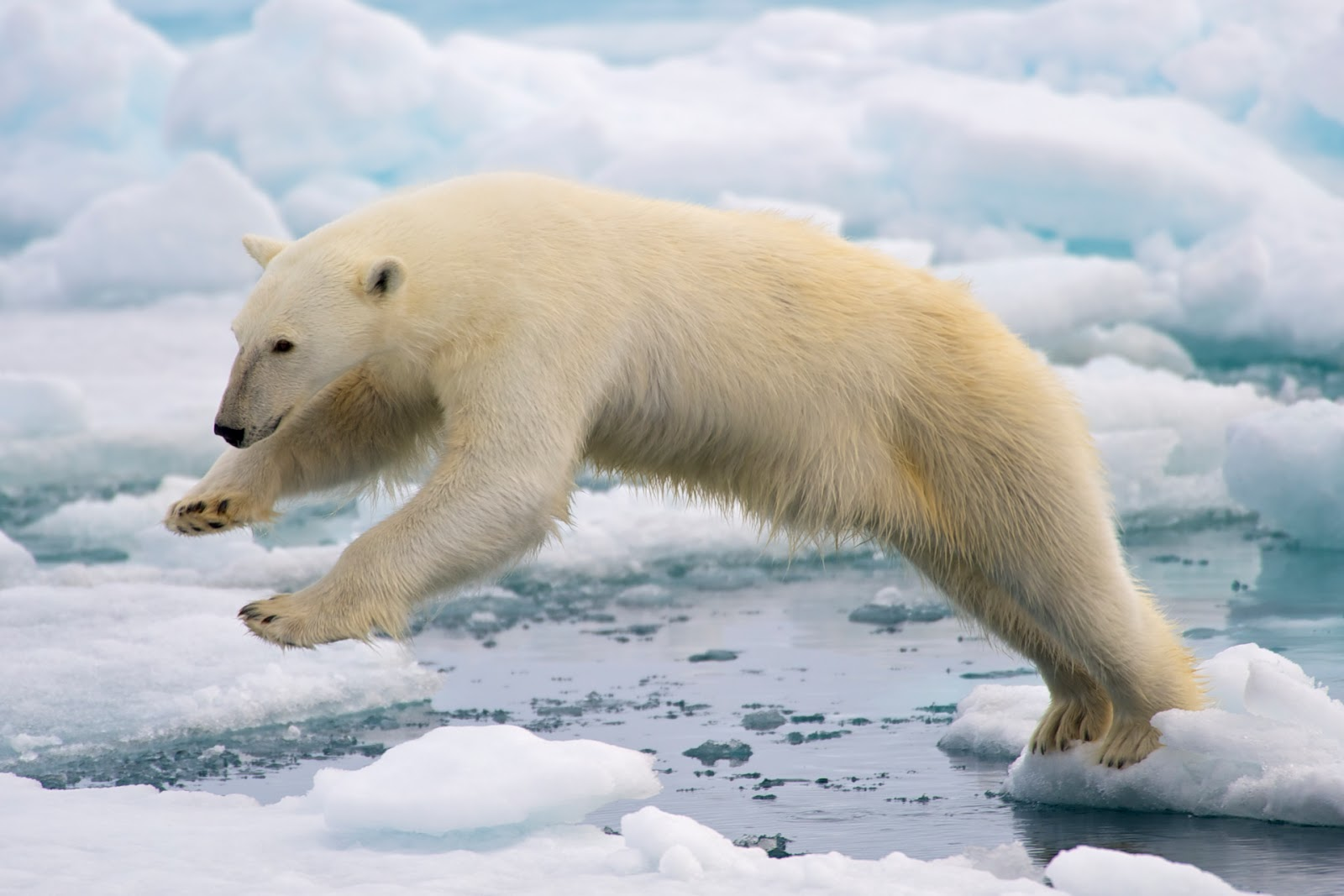 15 Animals That Are In Danger Of Extinction (Unless We Try To Protect Them) - Polar Bear