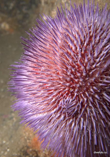 Фиолетовый морской еж. Баренцево море фото