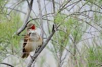 Carricero tordal (Acrocephalus arundinaceus). Great Reed Warbler