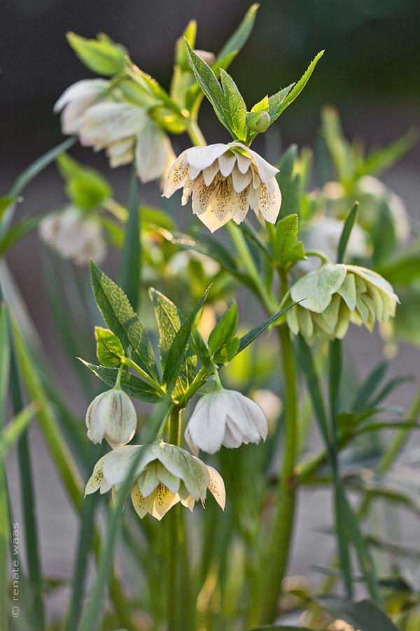 Gartenblog geniesser garten christrosen im garten for Pflanzen im garten