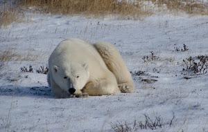 Bear in Churchill