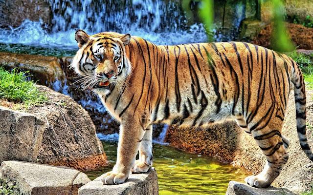 HD tijgers achtergrond foto's