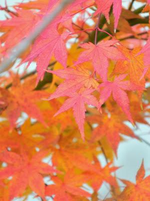 Acer palmatum Osakazuki Japanese maple fall foliage at Toronto Botanical Garden by garden muses-not another Toronto gardening blog