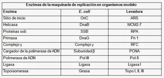 Mecanismo integral de la replicación del ADN   Apuntes de Biología ...