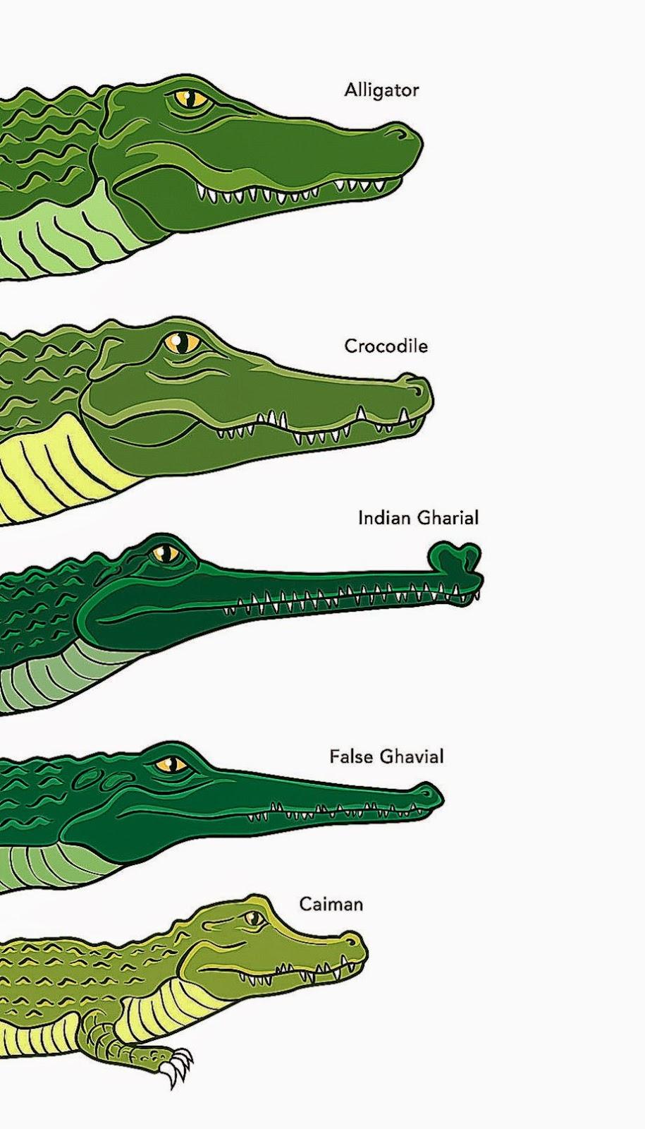Crocodile vs alligator vs caiman vs gharial - photo#1