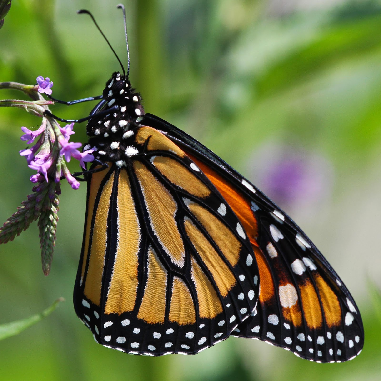 all of nature monarch butterfly emerging from chrysalis