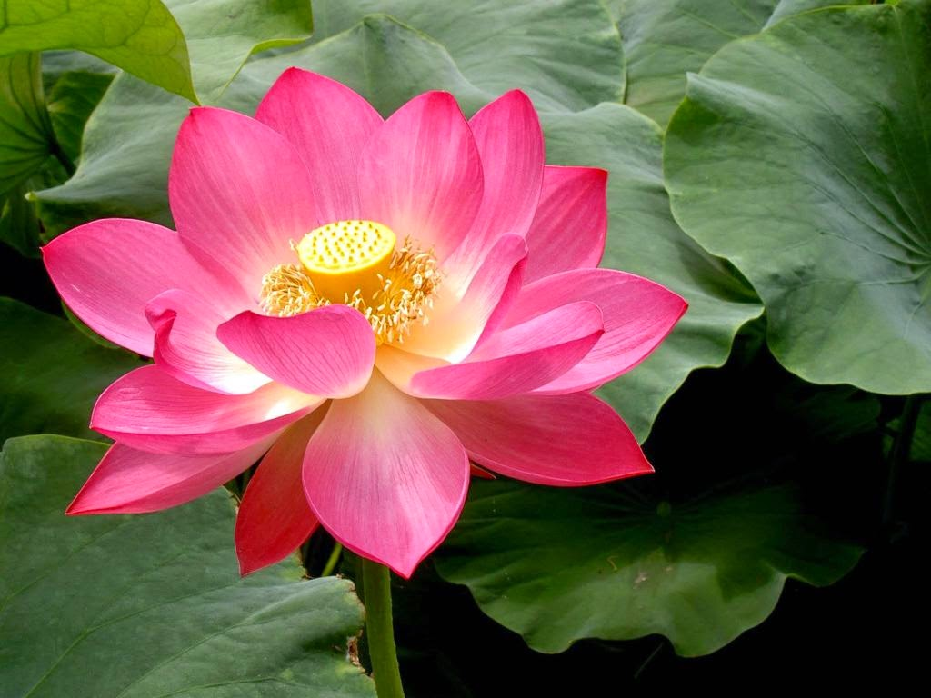 Health august 2014 benefit from the lotus izmirmasajfo