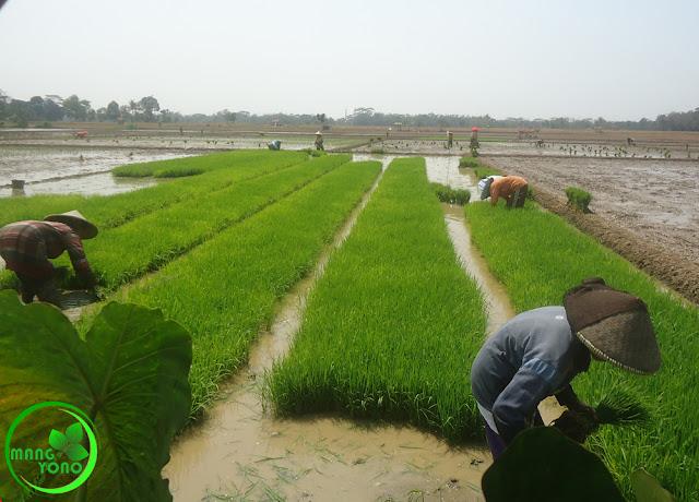 Babut atau mencabut benih padi di pawinian / pembenihan