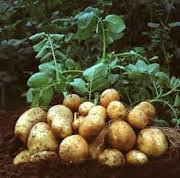Knowing the True Potato Cultivation Tips For Results Abundant