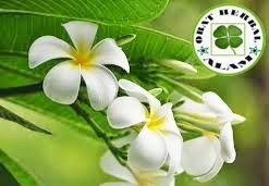 cara mengobati bisul, daun kamboja, obat herbal, khasiat, manfaat