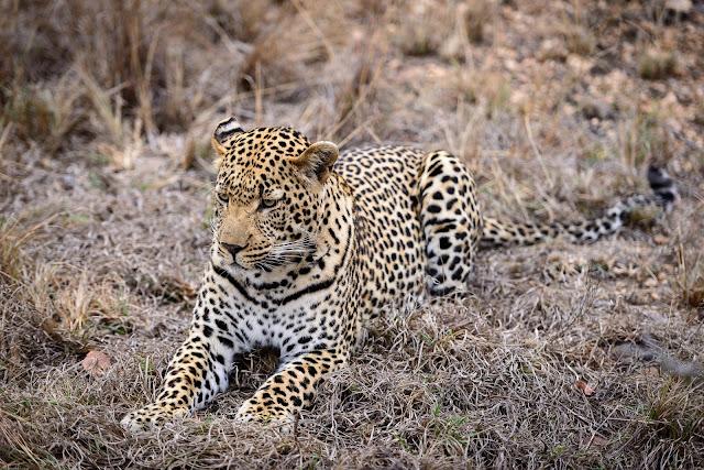 Sabi Leopard