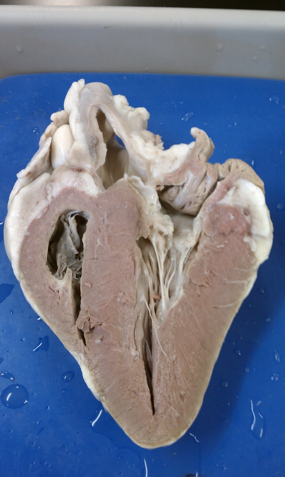 Sheep heart pictures to pin on pinterest thepinsta pics for sheep heart labeling quiz 957x1600 ccuart Image collections