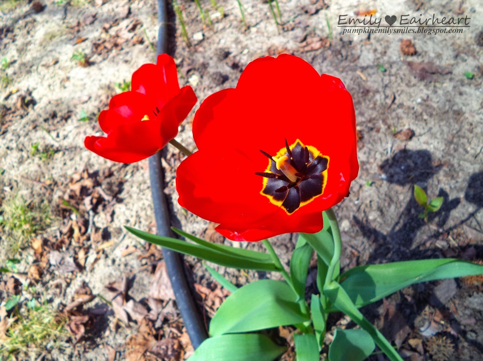 Two open red Tulips
