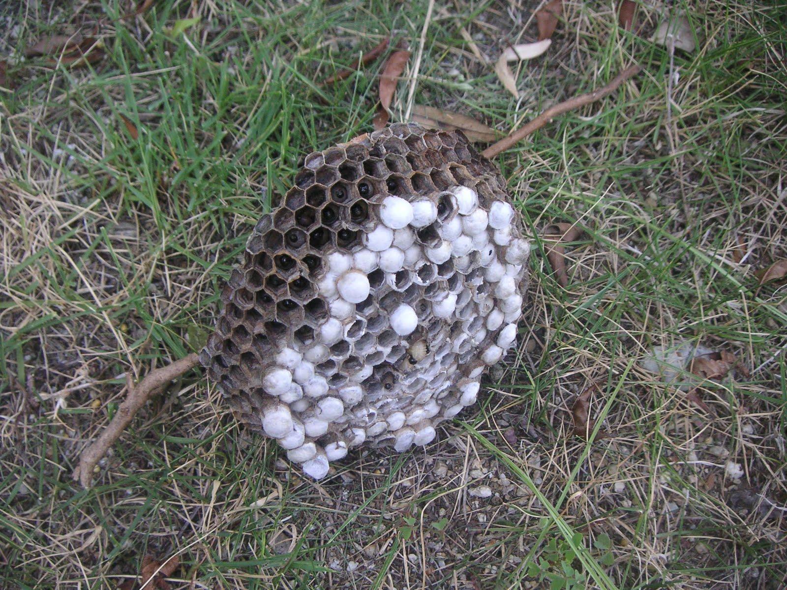アシナガバチの画像 p1_32