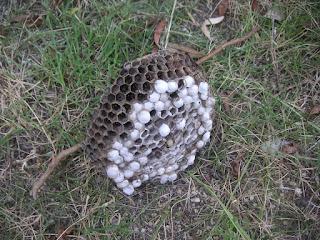 アシナガバチの画像 p1_15