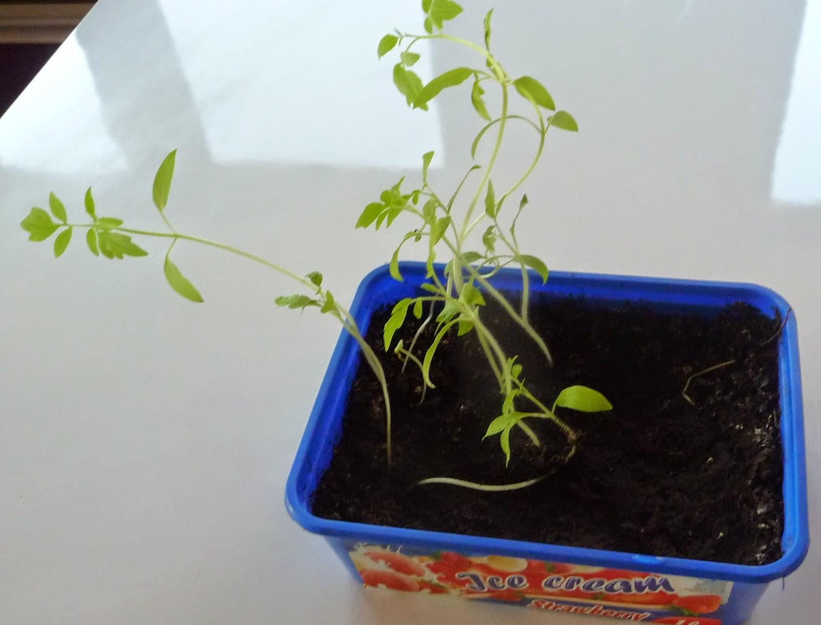 siewki pomidorów
