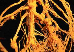 Kapang yang menginfeksi akar tanaman kedelai