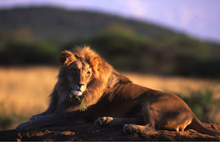 lion king leo pets animal big cat wallpaper singa
