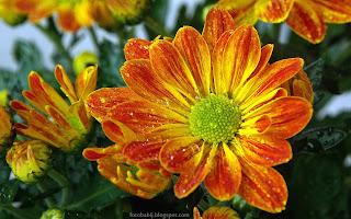 http://fotobabij.blogspot.com/2015/03/kwiat-chryzantemy-chrysanthemum-flower.html
