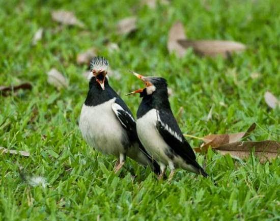 Harga Burung Jalak Suren Terbaru 2014