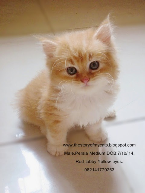 The Story Of My Cats Jual Kucing Persia Medium Red Tabby