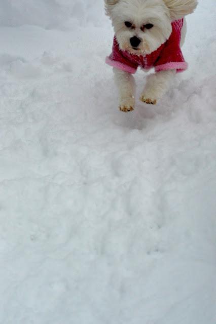 morkie-in-snow