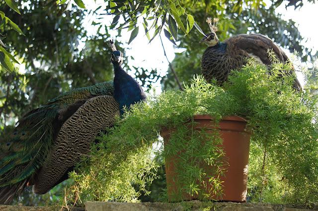 san anton gardens peacocks malta