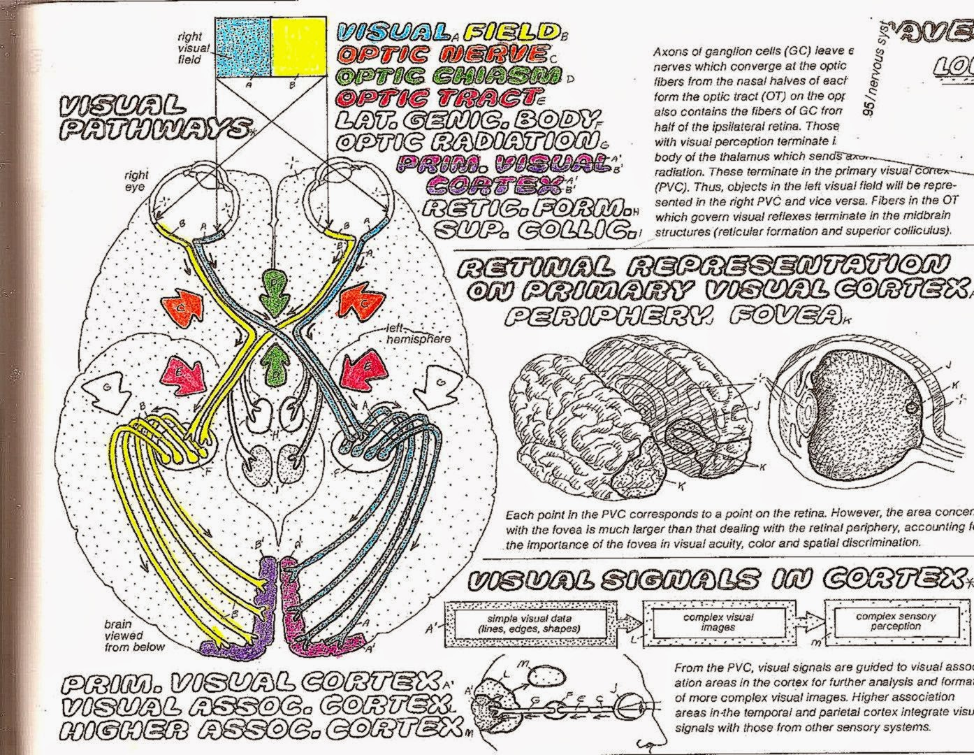 Anatomy coloring book for health professions - Anatomy Coloring Book For Health Professions Anatomy Amp Physiology