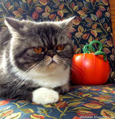Popoki the cat posing with a pumpkin
