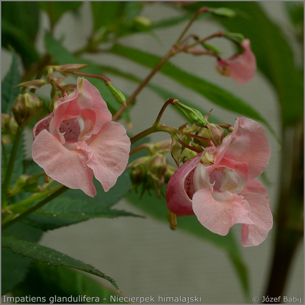 Impatiens glandulifera   flowers - Niecierpek himalajski  kwiaty