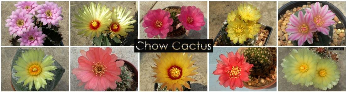 Chow Cactus