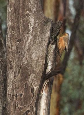 Rufous Treecreeper (Climacteris rufus)